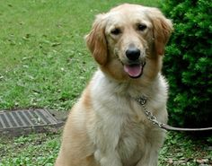 golden retriever dog How neutering affects health in dogs--different for various breeds