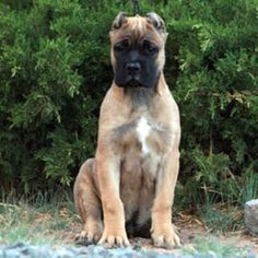 """The breed is commonly referred to as the """"Mastiff"""". Also known as the English Mastiff this giant dog breed gets known for its splendid, good natu Giant Dog Breeds, Giant Dogs, American Bull, Puppies For Sale, Dogs And Puppies, American Bandogge Mastiff, Boston Bull Terrier, English Mastiff Puppies, Mastiff Breeds"""
