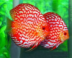 Discus fish.. looking forward to my next tank and getting some of these!
