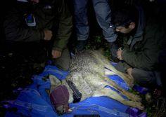 Avviato il monitoraggio tramite il collare GPS del lupacchiotto dei Monti Sibillini