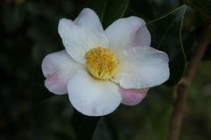 Camellia 'Apple Blossom' (japonica), an early spring variety with a delightfully strong heady scent. Early Spring, Camellia, Strong, Apple, Plants, Flowers, Beginning Of Spring, Apple Fruit, Planters