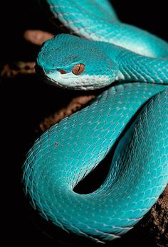 "The blue phase of the White-Lipped Tree Viper. ""Although they are green for the majority of their lives, they go through a bright blue phase which sheds off to the green."""