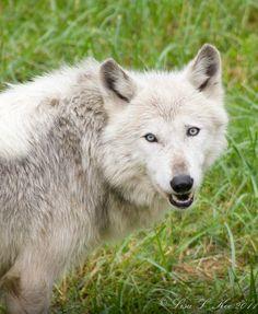 Wolf pack from Wildlife Prairie SP