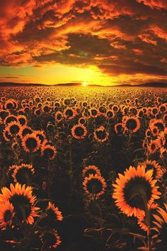 Image about nature in sunflower 🌻 by Nijah ✨ on We Heart It Sunflower Iphone Wallpaper, Flower Phone Wallpaper, Sunset Wallpaper, Cute Wallpaper Backgrounds, Pretty Wallpapers, Phone Backgrounds, Orange Wallpaper, Trendy Wallpaper, Aesthetic Pastel Wallpaper