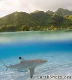 Blacktipped reef shark in Moorea