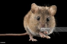 View top-quality stock photos of A Western Harvest Mouse Reithrodontomys Megalotis. Find premium, high-resolution stock photography at Getty Images. Harvest Mouse, Rodents, High Resolution Photos, Nebraska, Westerns, Stock Photos, Nature, Animals, Tattoo Ideas