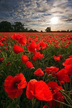 Glowing Poppies by Adam Edwards. I love Poppies! Foto Picture, Red Poppies, Field Of Poppies, Yellow Roses, Pink Roses, Belle Photo, Pretty Pictures, Planting Flowers, Flowers Garden