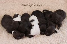 HavaHug Havanese Puppies, is a Michigan based Havanese breeder of quality Chocolate AKC Havanese Dogs. Non-shedding, Hypo-allergenic Puppies. Breeder of the Most Beautiful Chocolate Havanese! Havanese Breeders, Havanese Puppies For Sale, Havanese Dogs, Daisy Dog, Service Dogs, Pet Beds, Baby Animals, Michigan, Pets