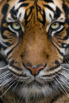 Sumatran Tiger-The most beautiful,in my opinion, Big Cat.Also the biggest,heaviest,tallest and most endangered of all Big Cats Beautiful Cats, Animals Beautiful, Big Cats, Cats And Kittens, Animals And Pets, Cute Animals, Baby Animals, Wild Animals, Funny Animals