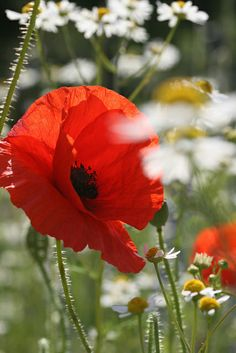 Poppies are one of my favorite flowers!