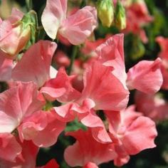 Climbing sweet pea Jupiterimages/Photos.com/Getty Images