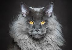 In beeld: de meest imposante katten ter wereld