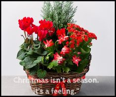 """""""Christmas isn't a season. It's a feeling. Beautiful Flower Quotes, Beautiful Flowers, Feeling Beautiful, Flowers Nature, Flower Delivery, Floral Bouquets, Flower Photos, Seasons, Feelings"""