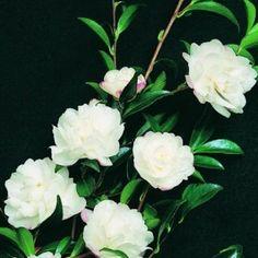 Camellia sasanqua 'Paradise Little Liane' (PVR)   Southern Woods