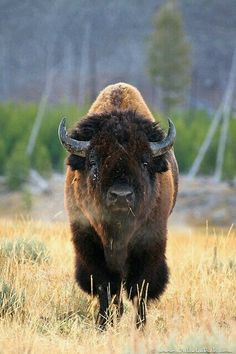 Bison Bull in Yellowstone National Park, Wyoming, USA. Nature Animals, Animals And Pets, Cute Animals, Strange Animals, Nature Nature, Animal Bufalo, Wildlife Photography, Animal Photography, Ocean Photography