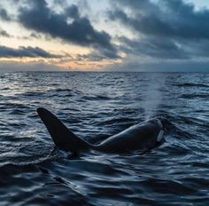 Have a joyful Monday everyone! #Orcas beginning to leave Fjords, Norway. Scientists counted over 1k orcas and 100 humpback whales in the last few weeks! PC: Cristina Mittermeier #mondaymotivation #mondaymorning