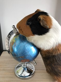 Buy The Right Size Guinea Pig Cage. Photo by maskarade Purchasing a guinea pig cage in a pet shop is unfortunately a good way to ensure that it is in fact too small for your pet's needs. Baby Guinea Pigs, Baby Pigs, Happy Animals, Animals And Pets, Pig Pics, Guinea Pig Bedding, Funny Animal Photos, Cute Piggies, Super Cute Animals