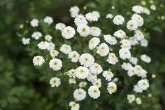 White Pompon Feverfew - Pinetree Garden Seeds - Herbs,New for 2015