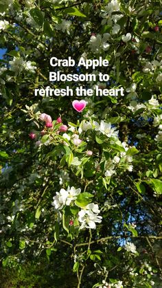 Crab Apple Blossom cascading in the garden. A beautiful essence to refresh the heart 💗