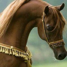 Horse خيل one of my favorite breeds the egyptian arabian Egyptian Arabian Horses, Beautiful Arabian Horses, Most Beautiful Horses, Majestic Horse, Pretty Horses, Rudyard Kipling, Horse Photos, Horse Pictures, Beautiful Creatures
