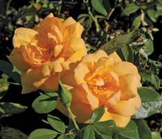 South Africa® - Sunbelt®#africa #south #sunbelt Hedging Plants, Rose Trees, Great Cuts, Stone Path, Rose Bush, Antique Roses, Love Flowers, Hedges, South Africa