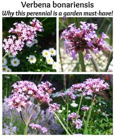 Verbena bonariensis: Why this perennial is a garden must-have! Long-blooming, easy-care, reseeds easily, tall and strong, and stunning purple color. Outdoor Plants, Garden Plants, Outdoor Gardens, Garden Inspiration, Garden Ideas, Garden Tips, Garden Care, Verbena, Summer Garden