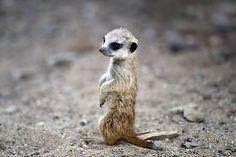 Baby Meerkat.  I've wanted one ever since Animal Planet's Meerkat Manor.