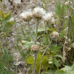 Saussurea sulcata Iljin Seeds For Sale, Vegetables, Vegetable Recipes, Veggies