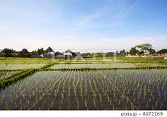 Rice field. Bali, Indonesia