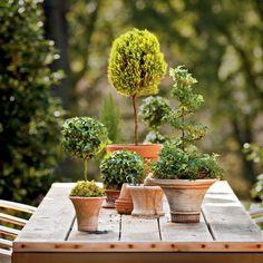 In vaso edera inglese Arte topiaria