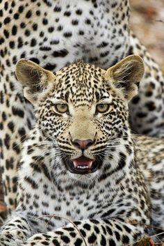 Leopard Leopard Leopard