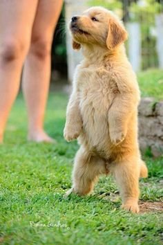 Golden retriever puppy on two legs Animals And Pets, Baby Animals, Funny Animals, Cute Animals, Cute Puppies, Cute Dogs, Dogs And Puppies, Doggies, Retriever Puppy