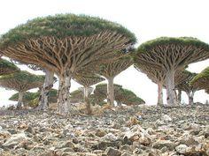 Árbol del dragón, fascinante. Son nativos del Socotra, Océano Indico,