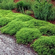 Mosquito Repelling Creeping Thyme Plant