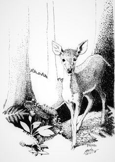 pen and ink wildlife deer woods drawing illustration