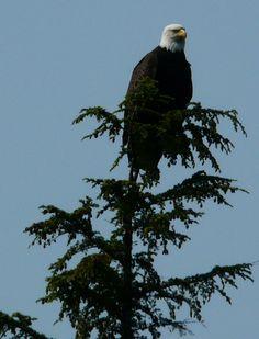 Alaska wildlife, lots of Bald Eagles and nests.