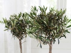 Slik steller du et oliventre Flora, Planters, Herbs, House, Lavender, Home, Plants, Herb, Plant