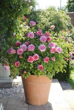 rose in pot
