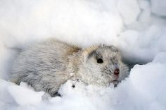 found in the arctic tundra of eastern Siberia and Alaska. brown in summer, white in winter.weigh from 1 to 4 ounces and are 3 to 6 inches long.an important part of the food chain in the arctic . Polar Animals, Large Animals, Animals And Pets, Cute Animals, Lynx, Arctic Lemming, Alaska, Animal Dress Up, Arctic Tundra
