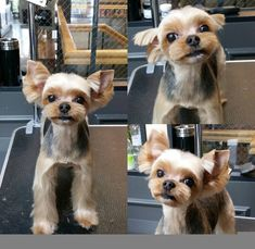 Repinned before after grooming before after dog grooming solutioingenieria Choice Image