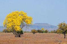 A exuberância das flores de Ipê amarelo, a flor símbolo do Brasil! Country Roads, Painting, Trees, Type 3, Landscapes, Facebook, Frame, Flowering Trees, Yellow Flowers