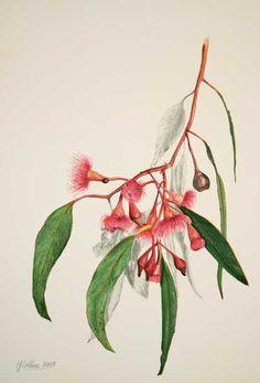 Elizabeth Collins.  Flowering Gum 1 Watercolor