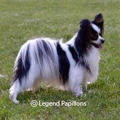 Black & White Papillon Dog Breed.