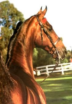 The legendary sire CF First Night Out, who stood at Blythewood Farms LLC, down in Franklin, TN.