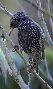 Znalezione obrazy dla zapytania starling