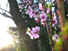 Peach Tree Blossom want for tattoo