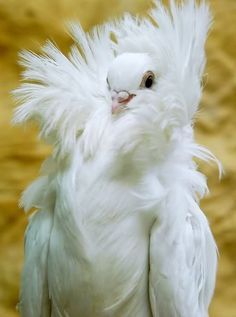 """White Jacobin Pigeon / """" You will refer to me as Your Majesty ."""""""