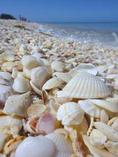 I can't wait to go to the beach and be able to find shells, sand dollars, sea glass. Amazing beaches with a Zillion Beautiful shells ! Shell Beach, Ocean Beach, Shells And Sand, Sea Shells, Sanibel Island, Ocean Life, Sea Creatures, Under The Sea, Beautiful Beaches