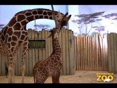 Giraffes, anyone?