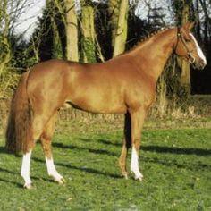 ♥ Gorgeous!!!...Tangelo of Zuuthoeve-Dutch Warmblood